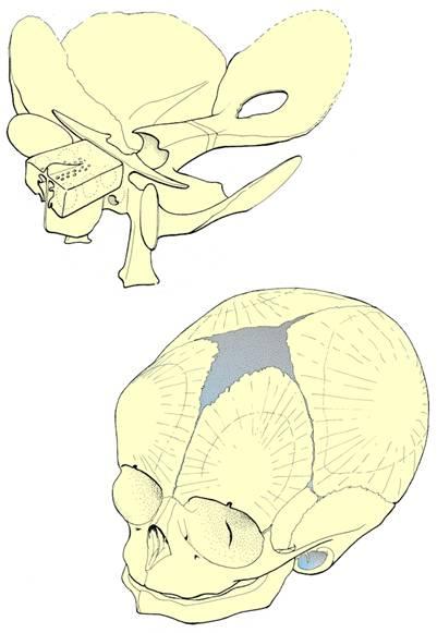 Fetal Skull Development Developing Fetal Skull