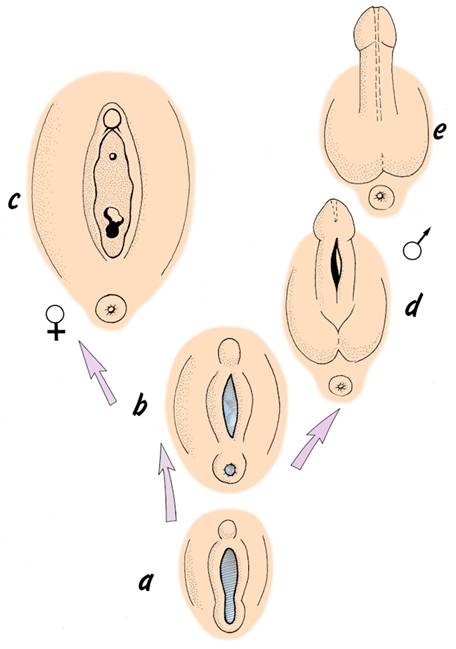 External genitalia - (a) during indifferent period, (b) contact of